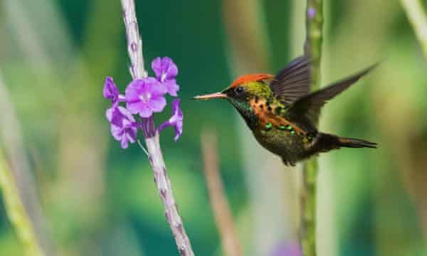 An Ashram For The Hummingbird The Trinidad Haven For World S Tiniest Bird Environment The Guardian