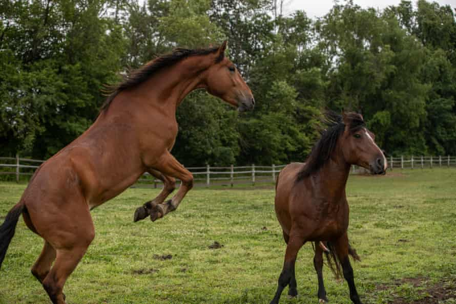 Wild mustangs rescued from Bureau of Land Management holding facilities.