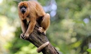 A black howler monkey