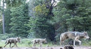 A female grey wolf with her pups in Lassen national forest in northern California.