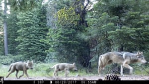 A female gray wolf and two of the three pups born this year in the wilds of Lassen national forest in Northern California