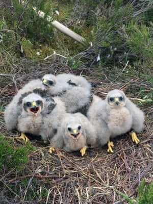 Harrier chicks that successfully hatched following a protection project for the rare birds in Northumberland, UK.