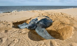 Leatherbacks are the largest of all sea turtles.