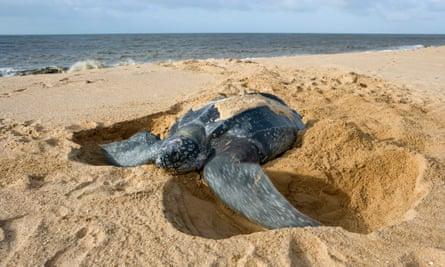 Leatherbacks are the largest of all sea turtles.