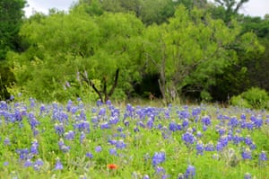 A verge covered in blue bonnets, the state flower of Texas