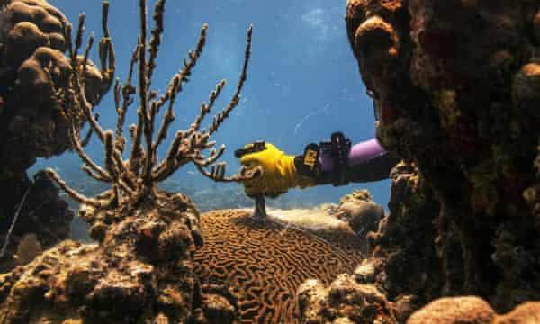 Research technician Danielle Lasseigne cuts a Pseudodiploria strigosa coral with a steel chisel