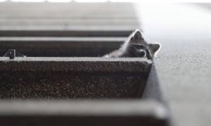 A raccoon on a fourth floor ledge of the Toronto Star building.