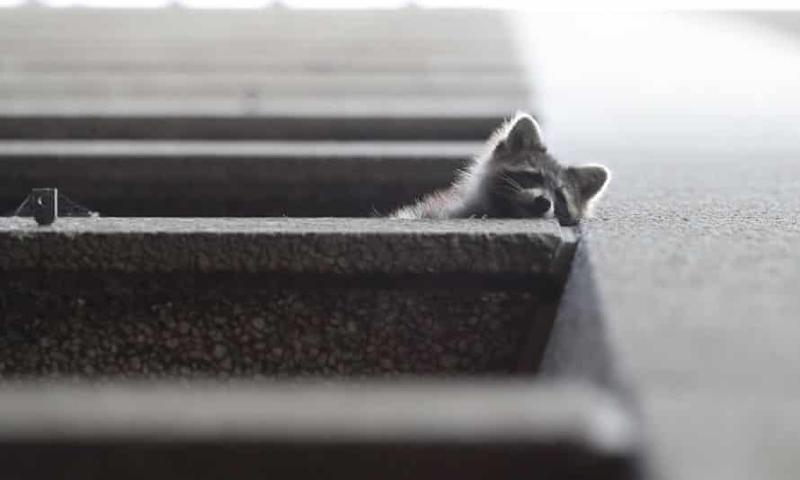 A raccoon on a fourth floor ledge of the Toronto Star building.