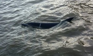 The dolphin in the Thames