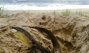 Goanna caught eating loggerhead turtle egg on sensor camera at Wreck Rock beach.