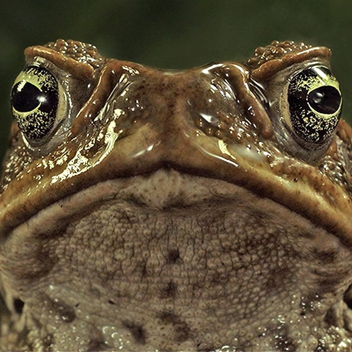 Cane Toad Sausages Help Biologist Win Top Science Prize Science The Guardian