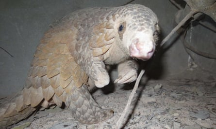 A Critically Endangered Sunda pangolin. Rescued from a snare and now receiving care from Wildlife Alliance in the Cardamom Rainforest Landscape. This animal cannot be released back into the wild – note it is missing its left foot – but it has bred in captivity.
