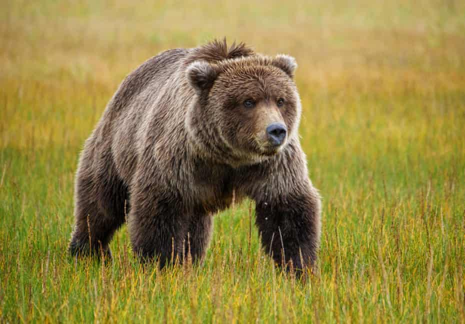 'It was complete pandemonium': the towns grappling with bear attacks
