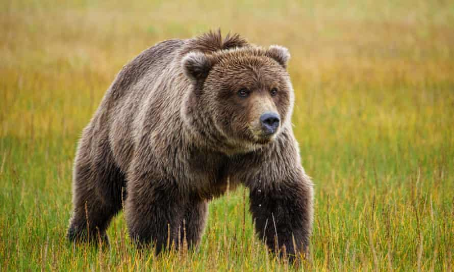 Coastal brown bear, or Grizzly Bear, South Central Alaska.Coastal brown bear, also known as Grizzly Bear, Ursus Arcos, South Central Alaska. United States of America. (Photo by: Education Images/Universal Images Group via Getty Images)