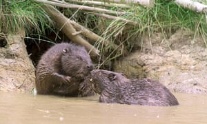 Beavers pictured in Kent in January 2015