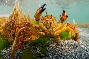 A North Pacific king crab (Paralithodes brevipes) in the Sea of Okhotsk off the Shantar Islands, Russia. The shoreline of the Shantar Islands is home to seals, Bowhead whales while North Pacific right whales have been spotted in the coastal waters north of the islands