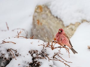 Great rosefinch in snow