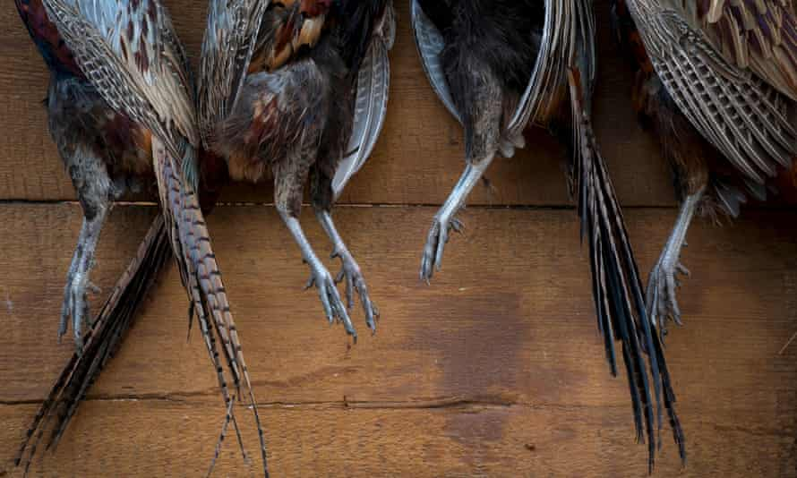 Pheasants hang from a board.