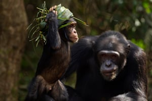 Conservationists initially celebrated the creation of a refuge for humanity's closest living relative.