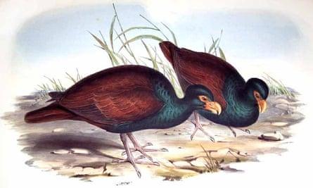 Nineteenth Century illustration of manumea or little dodo by John Gould.