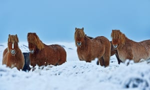 Native Icelandic ponies, which you can ride in the summer months.