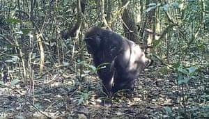 A pregnant female gorilla spots the camera trap