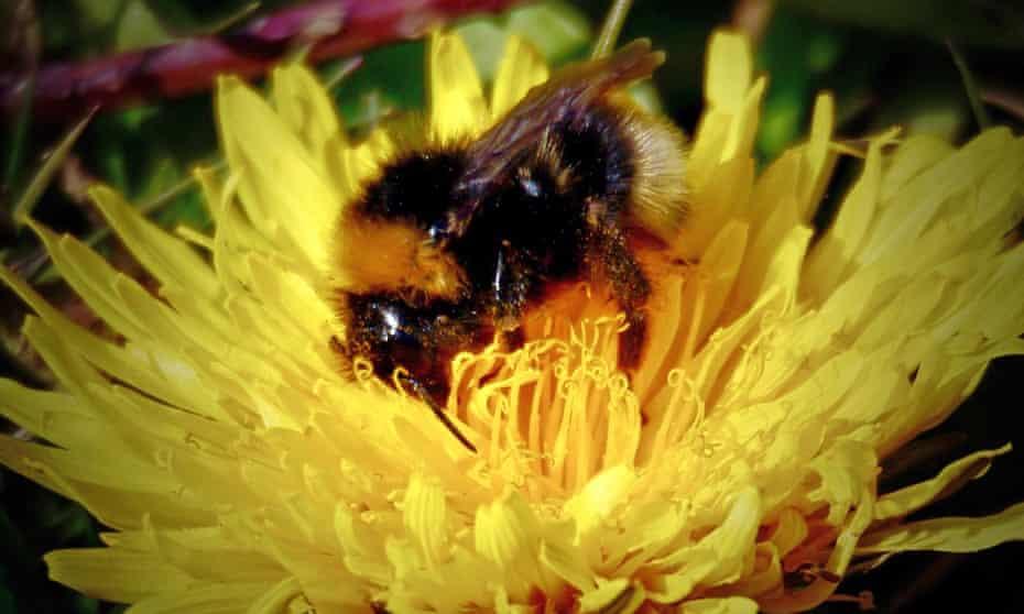 A queen garden bumblebee on a dandelion.