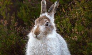 The mountain hare has almost vanished from Scotland.