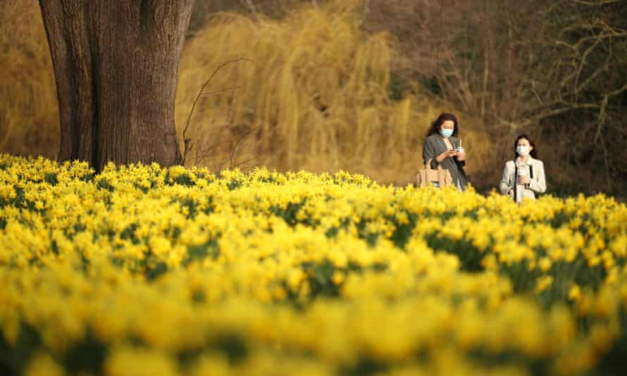 Daffodils in St James's Park, London.