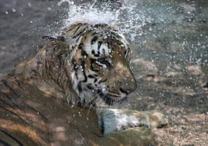Hyderabad, India: Water is sprayed on a tiger