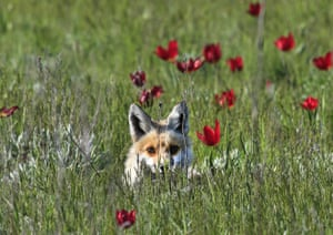 A fox in the Rostovsky nature reserve in Orlovsky District, Russia