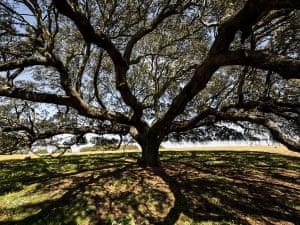 Holm oak (Quercus rotundifolia lam), Mértola, Portugal