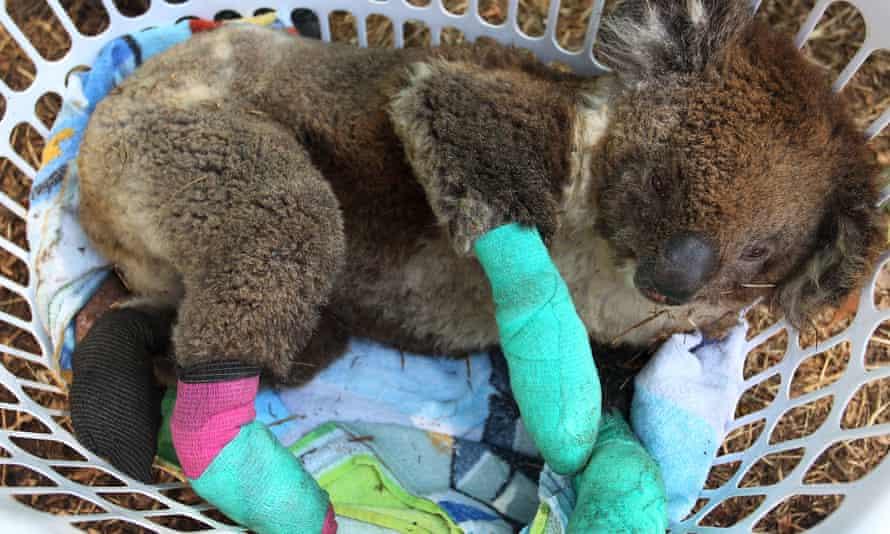 An injured koala rests in a washing basket on Kangaroo Island