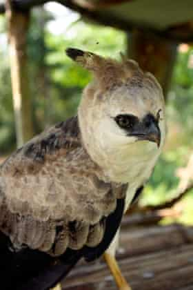 Captive harpy Eagle photographed in a Huaorani village in the Ecuadorian Amazon. Image shot 2007.