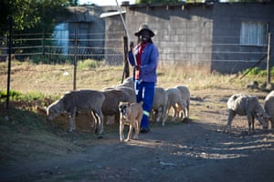 A man herds his sheep with his dog in Maseru