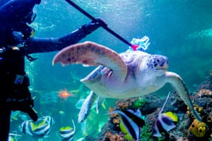 Timmendorfer Strand, Germany Diver Oliver Volz scrubs a sea turtle during a spring clean at the Sea Life aquarium