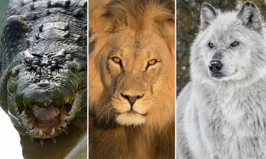 Crocodile, lion and wolf: all carnivores, but only two are in the order Carnivora.