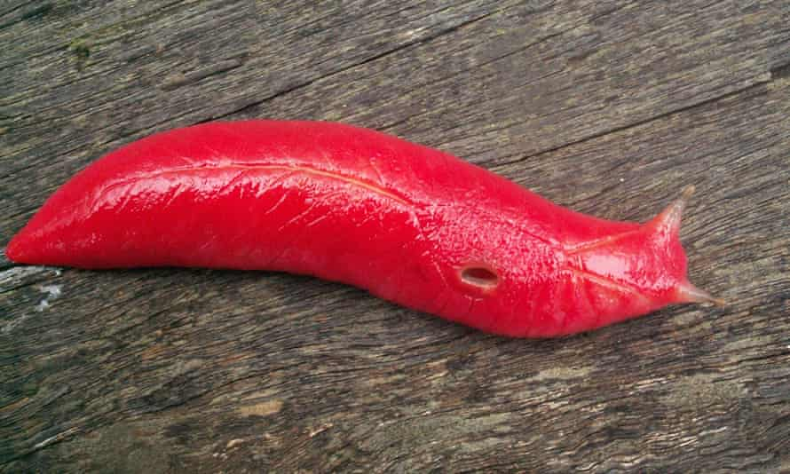 The fluorescent pink slug is unique to Mount Kaputar in northern New South Wales, Australia