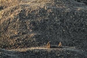 Habitat winner: Charles Everitt, 'Living Space', Gannets on Bass Rock, East Lothian, Scotland.