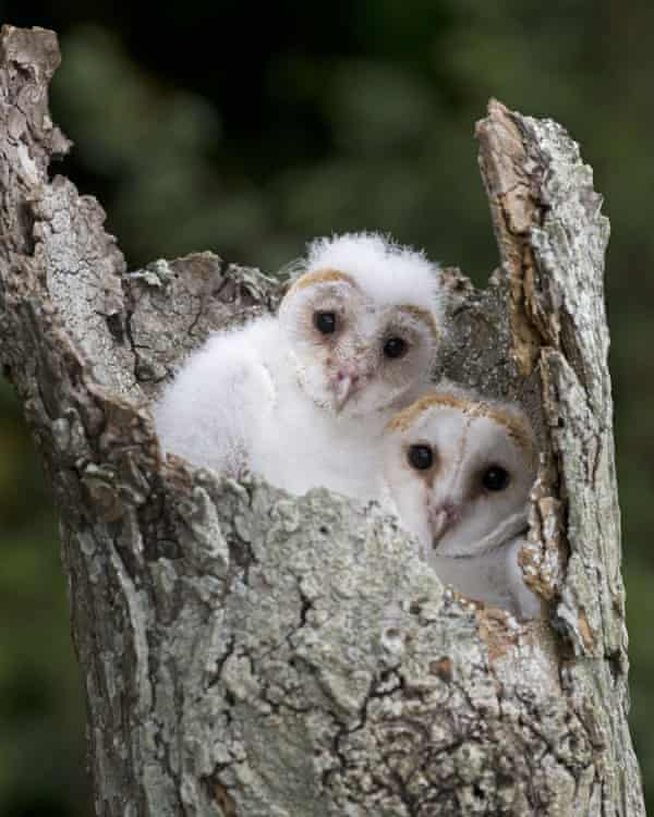 Two barn owl chicks in their nest.