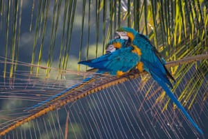 Two blue and yellow macaws sit on the branch of a chaguaramo tree in Caracas, Venezuela