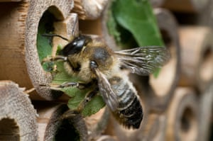 A leafcutter bee, Megachile centuncularis, nest-building in bamboo tubes in a UK garden