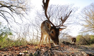 A young deer in the chestnut grove at Paço de Calheiros