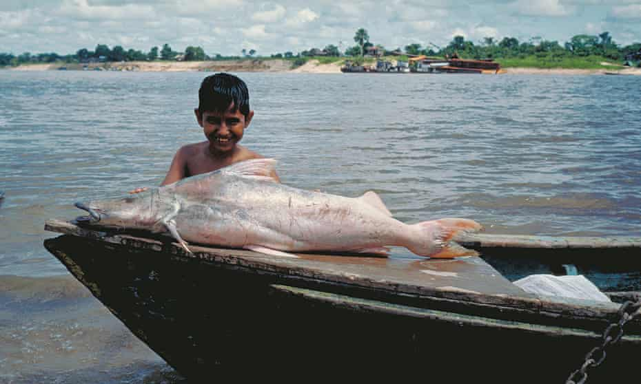 The dorado catfish is sometimes called the gilded catfish due to its silver and gold skin and can grow up to 2 metres in length.