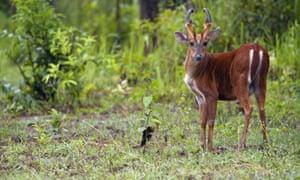 Muntiacus muntjak: Common Barking Deer
