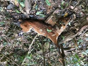 A dhole, or Asian wild dog, that died in a snare in Mondulkiri Province in Cambodia