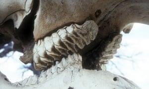 Teeth in an African elephant skull.