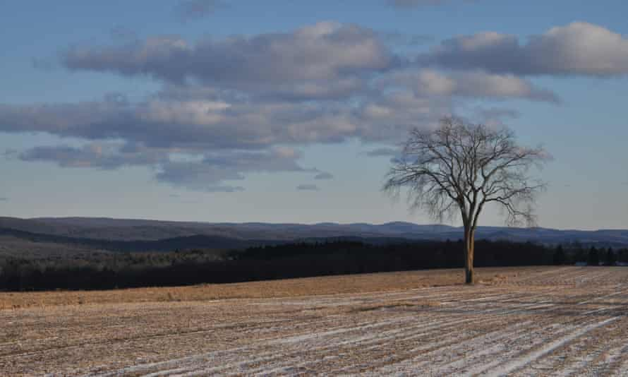 The American elm stands in a cornfield in the Berkshire Hills
