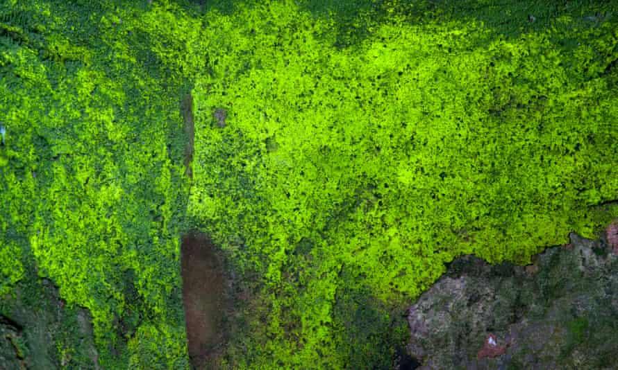 goblin's gold (schistostega pennata), a very vividly coloured green moss