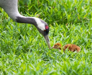 A common crane with chick, WWT Slimbridge, Gloucester, UK